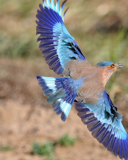 Photos/oiseaux/indian_roller.jpg