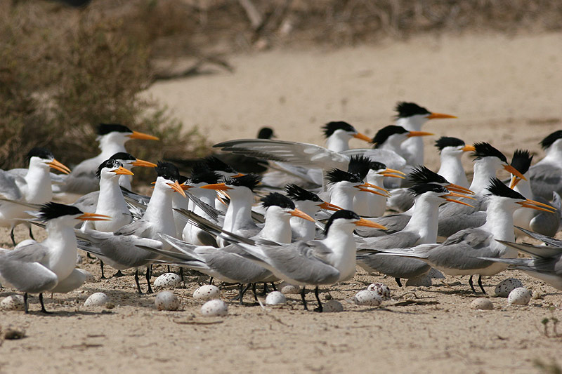 Photos/oiseaux/lesser_crested_tern.jpg